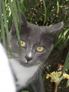 Smokey, AKA the Klepto Cat